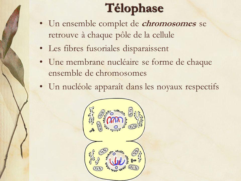 La cytocinèse Étape finale du cycle cellulaire au cours de laquelle les deux noyaux et le contenu cellulaire sont répartis en deux cellules filles La membrane cellulaire se « pince » afin de diviser le cytoplasme et les organites de la cellule