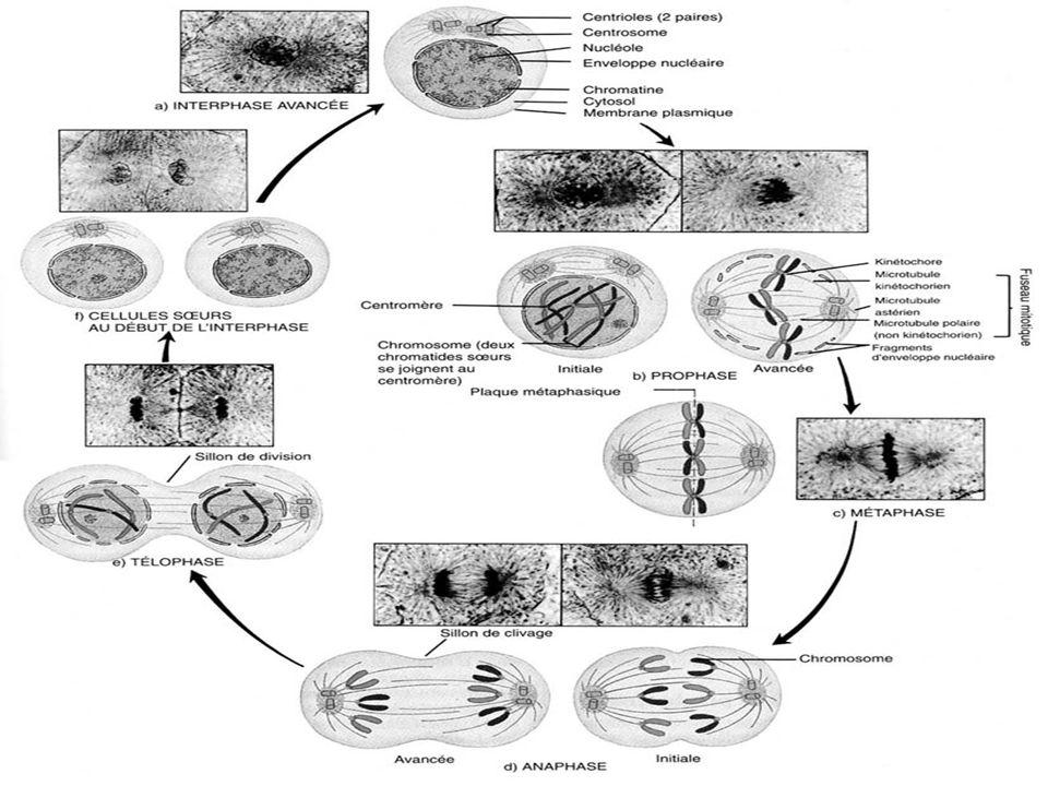 Linterphase létape la plus longue de la vie cellulaire partie où la cellule accomplie ses fonctions dans lorganisme durant cette phase, tout le contenu du cytoplasme est doublé