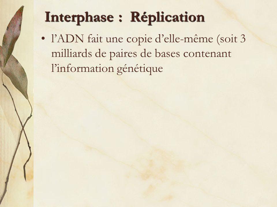 Interphase : Réplication –Étape 1 : Un enzyme sépare les côtés de lADN –Étape 2 : De nouvelles bases se joignent aux bases originales de lADN –Étape 3 : Il y a production de deux nouvelles molécules dADN identiques Étape 1 Étape 2 Étape 3