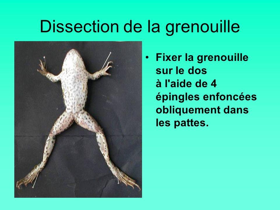 Dissection de la grenouille Fixer la grenouille sur le dos à l'aide de 4 épingles enfoncées obliquement dans les pattes.