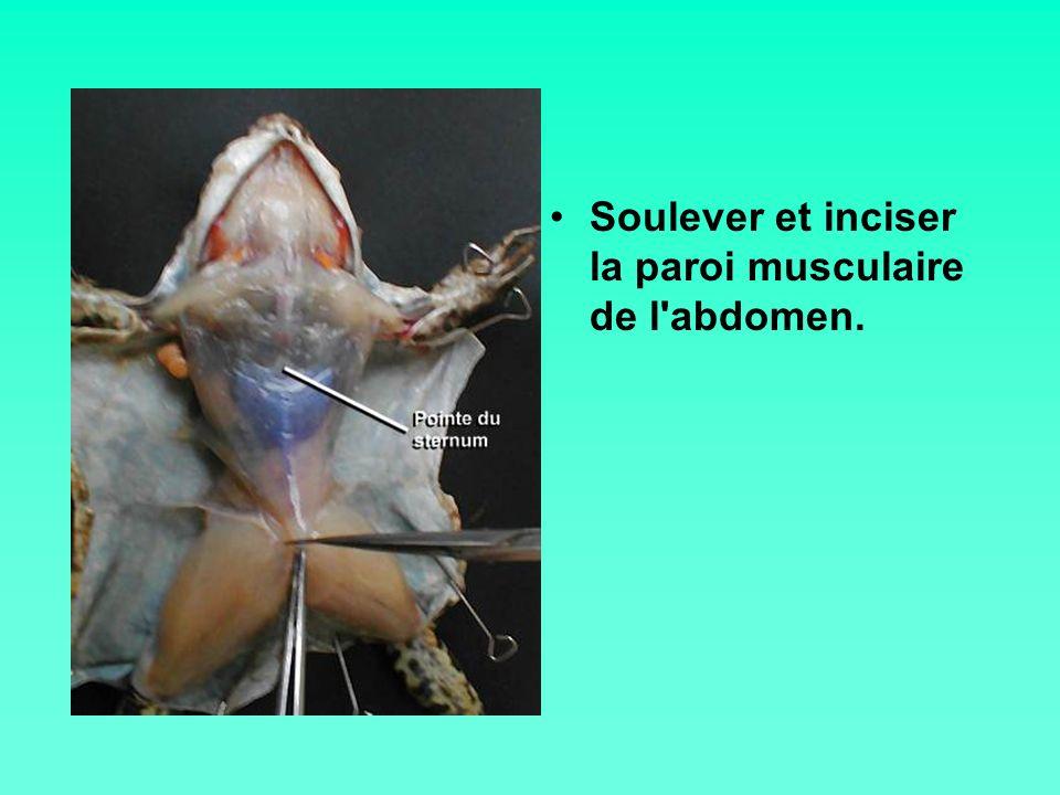 Couper de chaque côté la paroi musculaire avec les ciseaux.