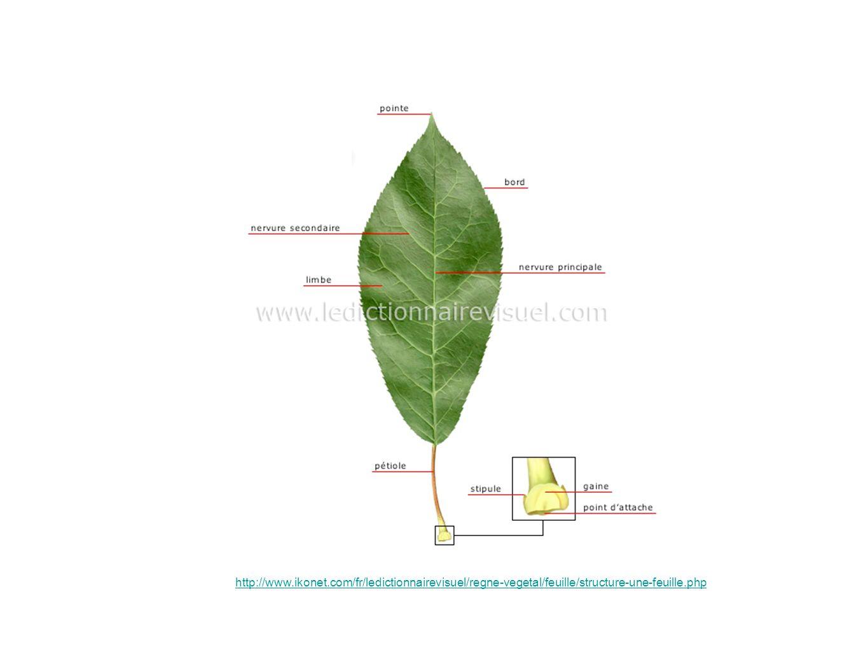 http://www.ikonet.com/fr/ledictionnairevisuel/regne-vegetal/feuille/structure-une-feuille.php