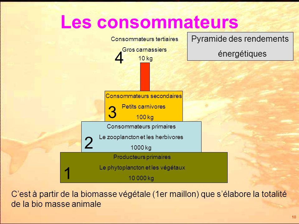 10 Producteurs primaires Le phytoplancton et les végétaux 1 Consommateurs primaires Le zooplancton et les herbivores 2 3 Consommateurs secondaires Petits carnivores Consommateurs tertiaires Gros carnassiers 4 Pyramide des rendements énergétiques Cest à partir de la biomasse végétale (1er maillon) que sélabore la totalité de la bio masse animale 10 000 kg 1000 kg 100 kg 10 kg Les consommateurs