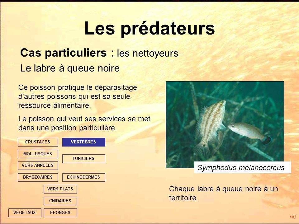 103 Les prédateurs Cas particuliers : les nettoyeurs Le labre à queue noire EPONGES CNIDAIRES VERS PLATS ECHINODERMES TUNICIERS VERTEBRES VERS ANNELES MOLLUSQUES CRUSTACES BRYOZOAIRES VEGETAUX Ce poisson pratique le déparasitage dautres poissons qui est sa seule ressource alimentaire.