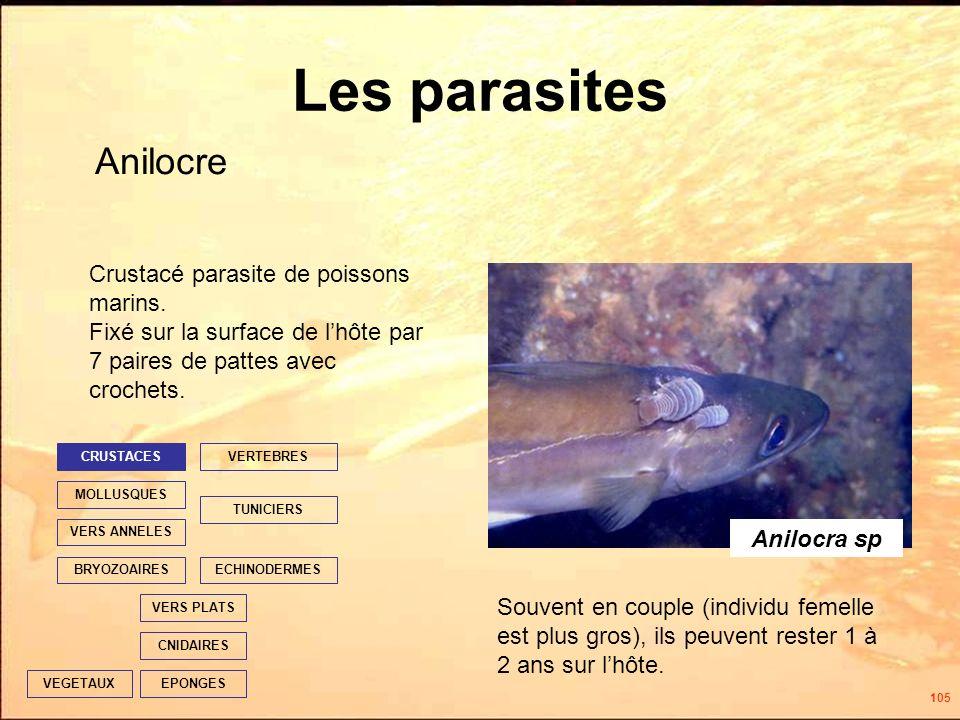 105 Les parasites Anilocre EPONGES CNIDAIRES VERS PLATS ECHINODERMES TUNICIERS VERTEBRES VERS ANNELES MOLLUSQUES CRUSTACES BRYOZOAIRES VEGETAUX Anilocra sp Souvent en couple (individu femelle est plus gros), ils peuvent rester 1 à 2 ans sur lhôte.