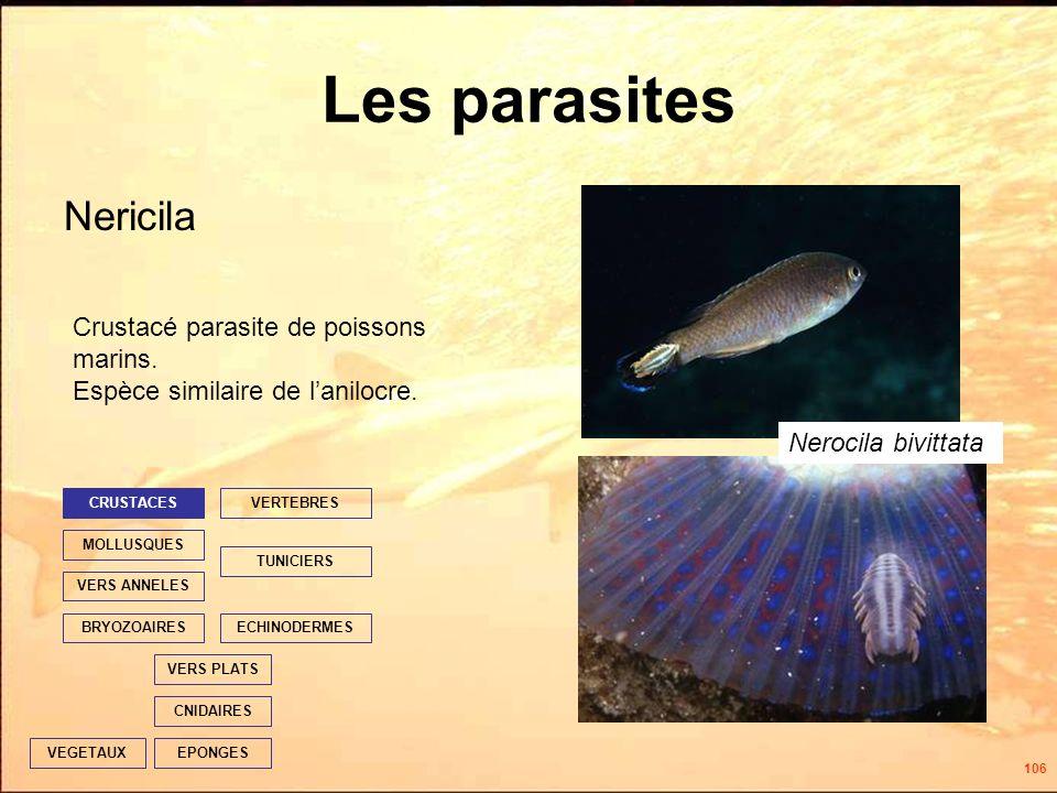 106 Les parasites Nericila EPONGES CNIDAIRES VERS PLATS ECHINODERMES TUNICIERS VERTEBRES VERS ANNELES MOLLUSQUES CRUSTACES BRYOZOAIRES VEGETAUX Crustacé parasite de poissons marins.