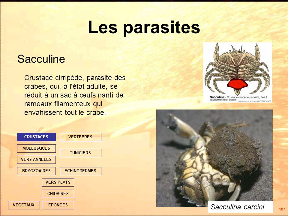 107 Les parasites Sacculine EPONGES CNIDAIRES VERS PLATS ECHINODERMES TUNICIERS VERTEBRES VERS ANNELES MOLLUSQUES CRUSTACES BRYOZOAIRES VEGETAUX Crustacé cirripède, parasite des crabes, qui, à l état adulte, se réduit à un sac à œufs nanti de rameaux filamenteux qui envahissent tout le crabe.