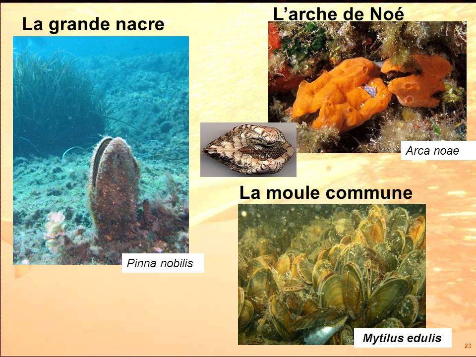 23 La moule commune Mytilus edulis Pinna nobilis La grande nacre Larche de Noé Arca noae