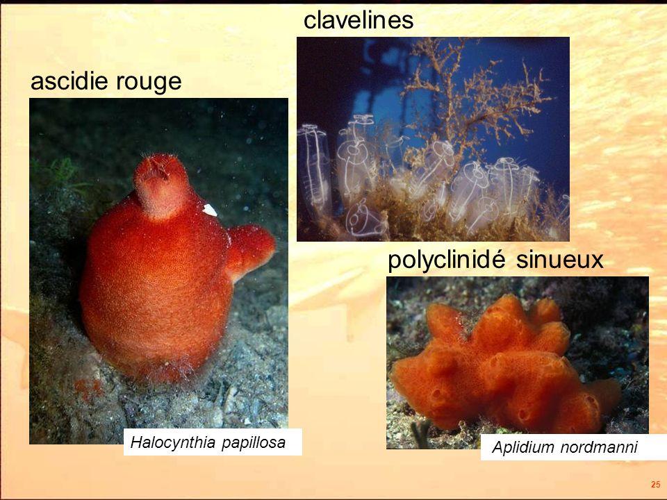 25 clavelines ascidie rouge polyclinidé sinueux Aplidium nordmanni Halocynthia papillosa