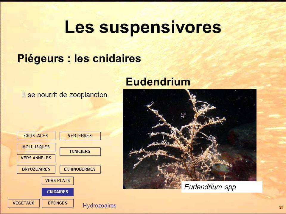 29 EPONGES CNIDAIRES VERS PLATS ECHINODERMES TUNICIERS VERTEBRES VERS ANNELES MOLLUSQUES CRUSTACES BRYOZOAIRES VEGETAUX Les suspensivores Piégeurs : les cnidaires Eudendrium Eudendrium spp Hydrozoaires Il se nourrit de zooplancton.