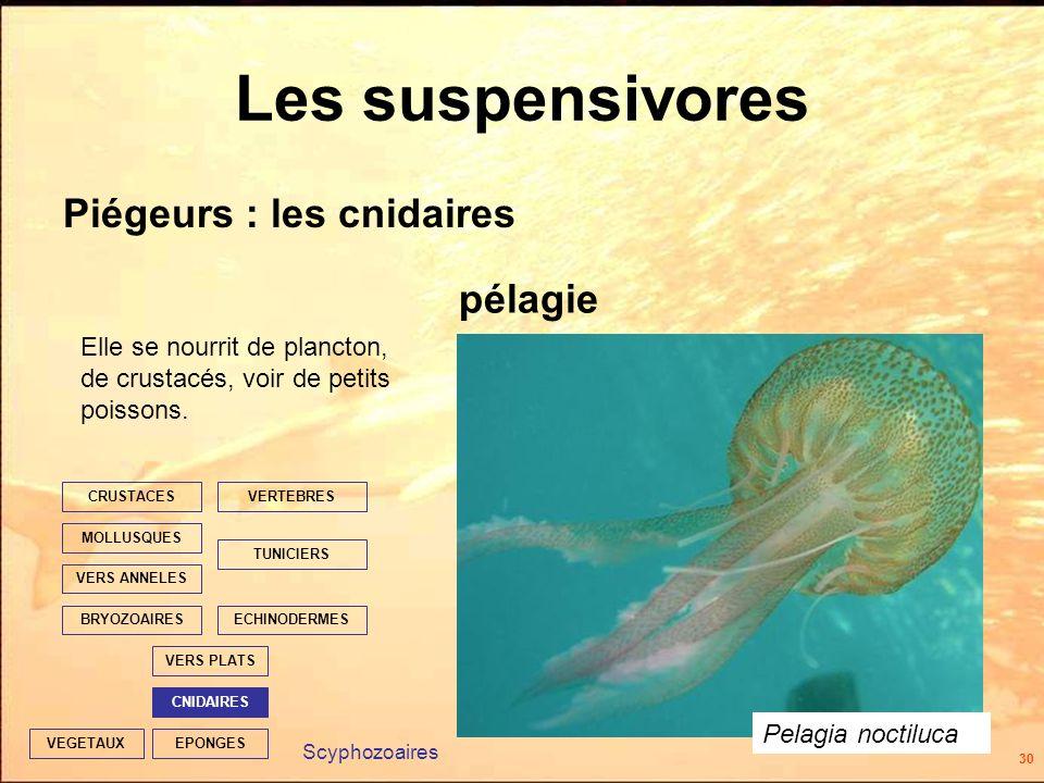 30 EPONGES CNIDAIRES VERS PLATS ECHINODERMES TUNICIERS VERTEBRES VERS ANNELES MOLLUSQUES CRUSTACES BRYOZOAIRES VEGETAUX Les suspensivores Piégeurs : les cnidaires pélagie Scyphozoaires Elle se nourrit de plancton, de crustacés, voir de petits poissons.