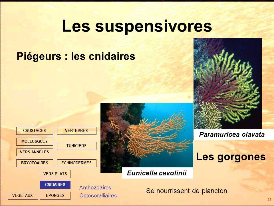 32 EPONGES CNIDAIRES VERS PLATS ECHINODERMES TUNICIERS VERTEBRES VERS ANNELES MOLLUSQUES CRUSTACES BRYOZOAIRES VEGETAUX Les suspensivores Piégeurs : les cnidaires Les gorgones Se nourrissent de plancton.