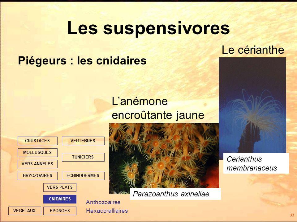 33 EPONGES CNIDAIRES VERS PLATS ECHINODERMES TUNICIERS VERTEBRES VERS ANNELES MOLLUSQUES CRUSTACES BRYOZOAIRES VEGETAUX Les suspensivores Piégeurs : les cnidaires Anthozoaires Hexacoralliaires Le cérianthe Lanémone encroûtante jaune Parazoanthus axinellae Cerianthus membranaceus