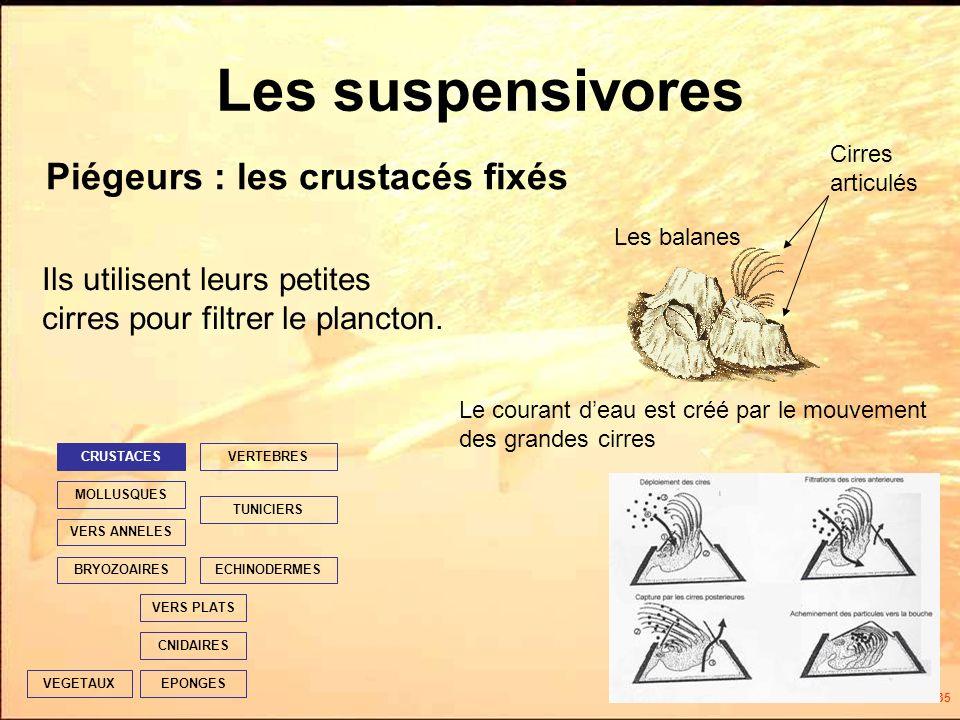 35 Les suspensivores Ils utilisent leurs petites cirres pour filtrer le plancton.