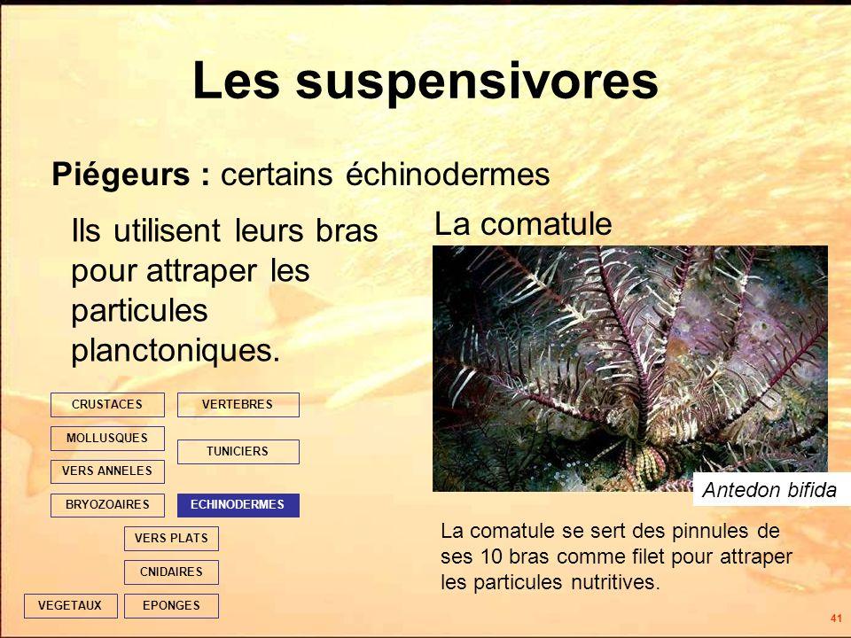 41 Les suspensivores Ils utilisent leurs bras pour attraper les particules planctoniques.