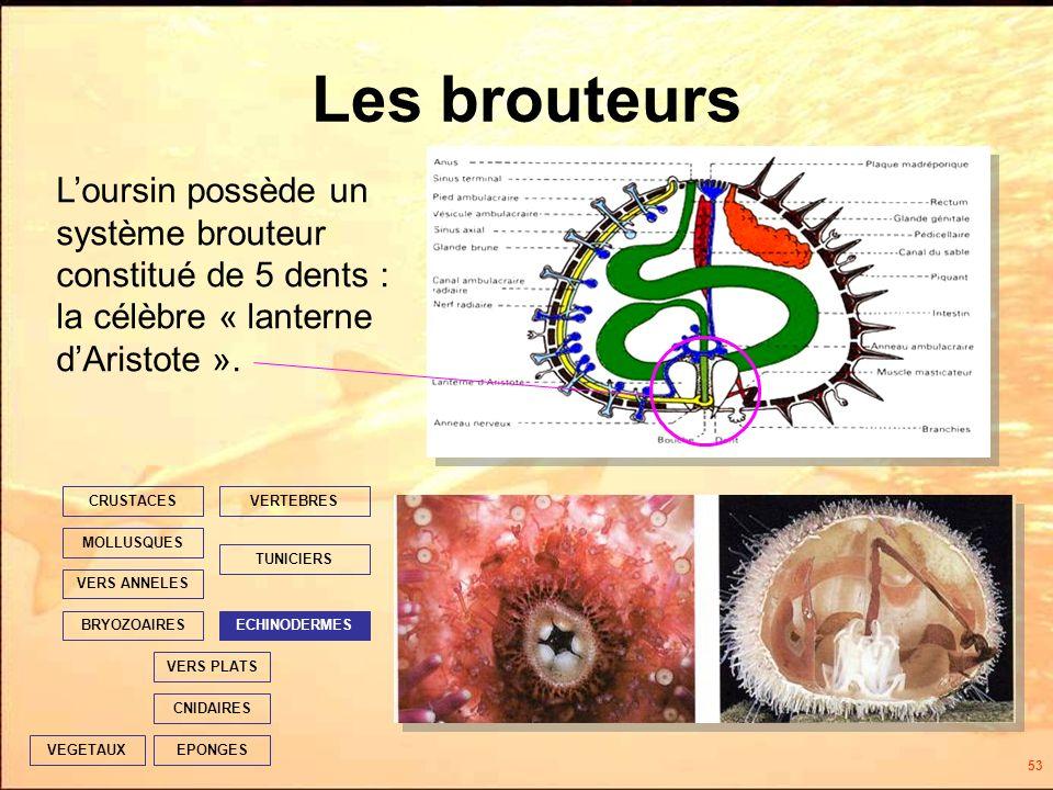 53 Les brouteurs EPONGES CNIDAIRES VERS PLATS ECHINODERMES TUNICIERS VERTEBRES VERS ANNELES MOLLUSQUES CRUSTACES BRYOZOAIRES VEGETAUX Loursin possède un système brouteur constitué de 5 dents : la célèbre « lanterne dAristote ».