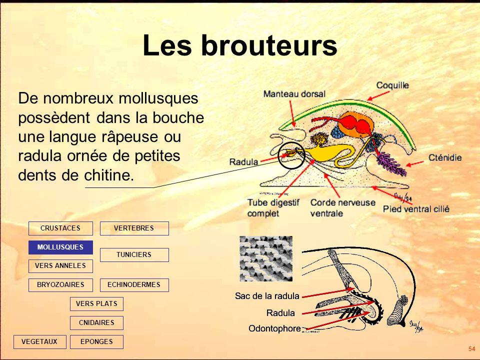 54 Les brouteurs EPONGES CNIDAIRES VERS PLATS ECHINODERMES TUNICIERS VERTEBRES VERS ANNELES MOLLUSQUES CRUSTACES BRYOZOAIRES VEGETAUX De nombreux mollusques possèdent dans la bouche une langue râpeuse ou radula ornée de petites dents de chitine.