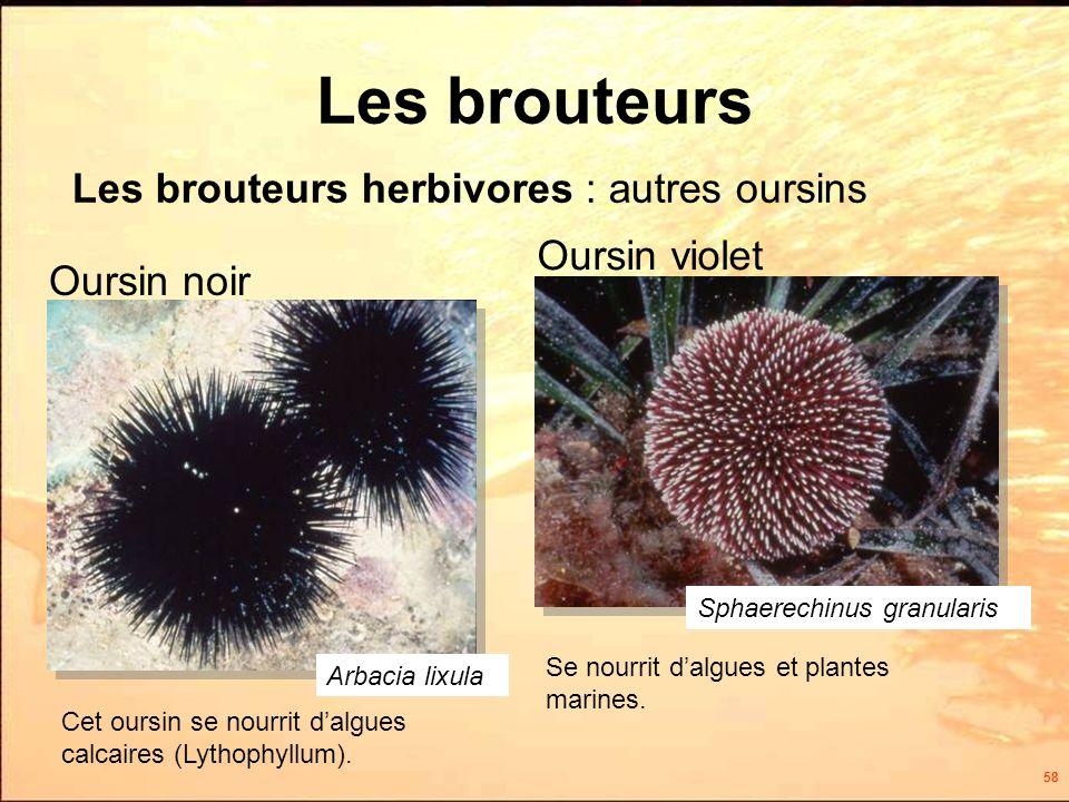 58 Les brouteurs Les brouteurs herbivores : autres oursins Arbacia lixula Cet oursin se nourrit dalgues calcaires (Lythophyllum).