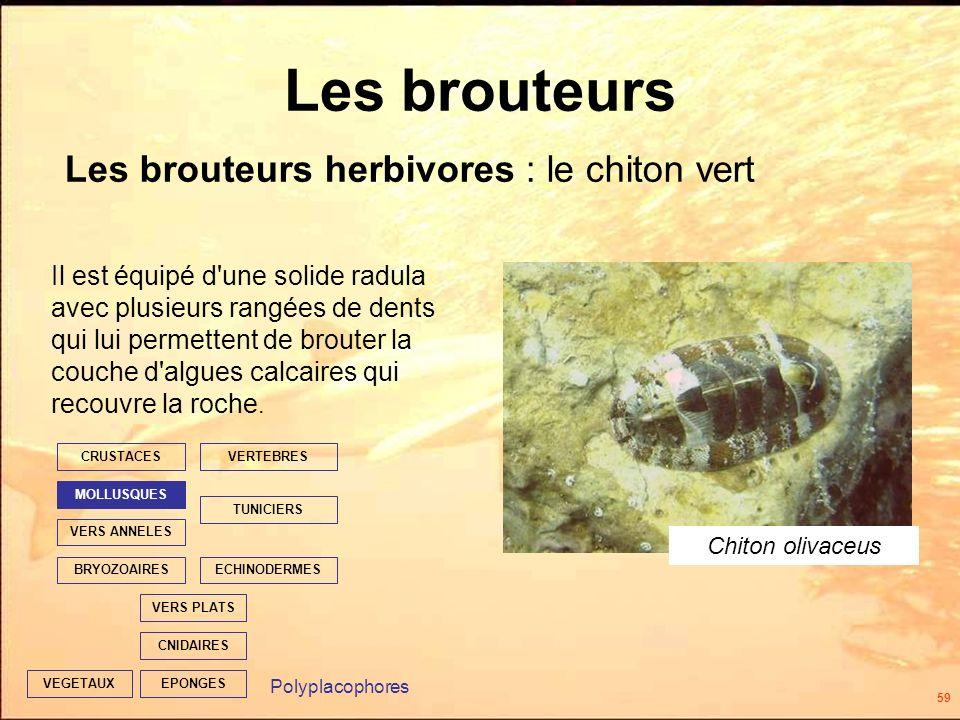 59 Les brouteurs EPONGES CNIDAIRES VERS PLATS ECHINODERMES TUNICIERS VERTEBRES VERS ANNELES MOLLUSQUES CRUSTACES BRYOZOAIRES VEGETAUX Il est équipé d une solide radula avec plusieurs rangées de dents qui lui permettent de brouter la couche d algues calcaires qui recouvre la roche.