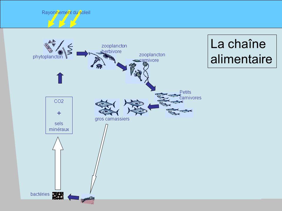 6 phytoplancton Rayonnement du soleil zooplancton herbivore zooplancton carnivore Petits carnivores gros carnassiers CO2 + sels minéraux La chaîne alimentaire bactéries