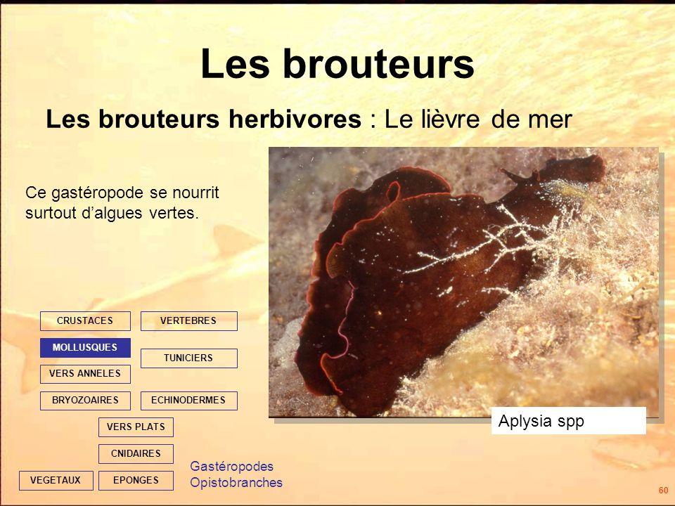 60 Les brouteurs Les brouteurs herbivores : Le lièvre de mer EPONGES CNIDAIRES VERS PLATS ECHINODERMES TUNICIERS VERTEBRES VERS ANNELES MOLLUSQUES CRUSTACES BRYOZOAIRES VEGETAUX Ce gastéropode se nourrit surtout dalgues vertes.
