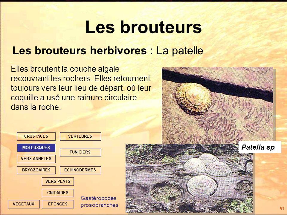 61 Les brouteurs Les brouteurs herbivores : La patelle EPONGES CNIDAIRES VERS PLATS ECHINODERMES TUNICIERS VERTEBRES VERS ANNELES MOLLUSQUES CRUSTACES BRYOZOAIRES VEGETAUX Elles broutent la couche algale recouvrant les rochers.
