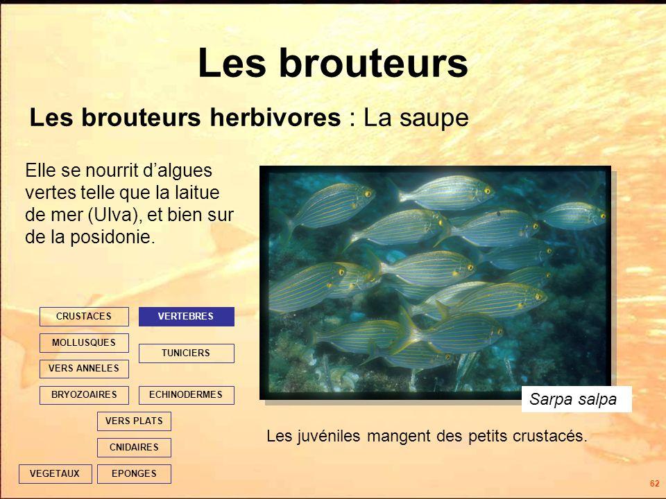 62 Les brouteurs Les brouteurs herbivores : La saupe EPONGES CNIDAIRES VERS PLATS ECHINODERMES TUNICIERS VERTEBRES VERS ANNELES MOLLUSQUES CRUSTACES BRYOZOAIRES VEGETAUX Elle se nourrit dalgues vertes telle que la laitue de mer (Ulva), et bien sur de la posidonie.