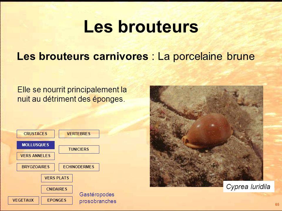 65 Les brouteurs Les brouteurs carnivores : La porcelaine brune EPONGES CNIDAIRES VERS PLATS ECHINODERMES TUNICIERS VERTEBRES VERS ANNELES MOLLUSQUES CRUSTACES BRYOZOAIRES VEGETAUX Elle se nourrit principalement la nuit au détriment des éponges.