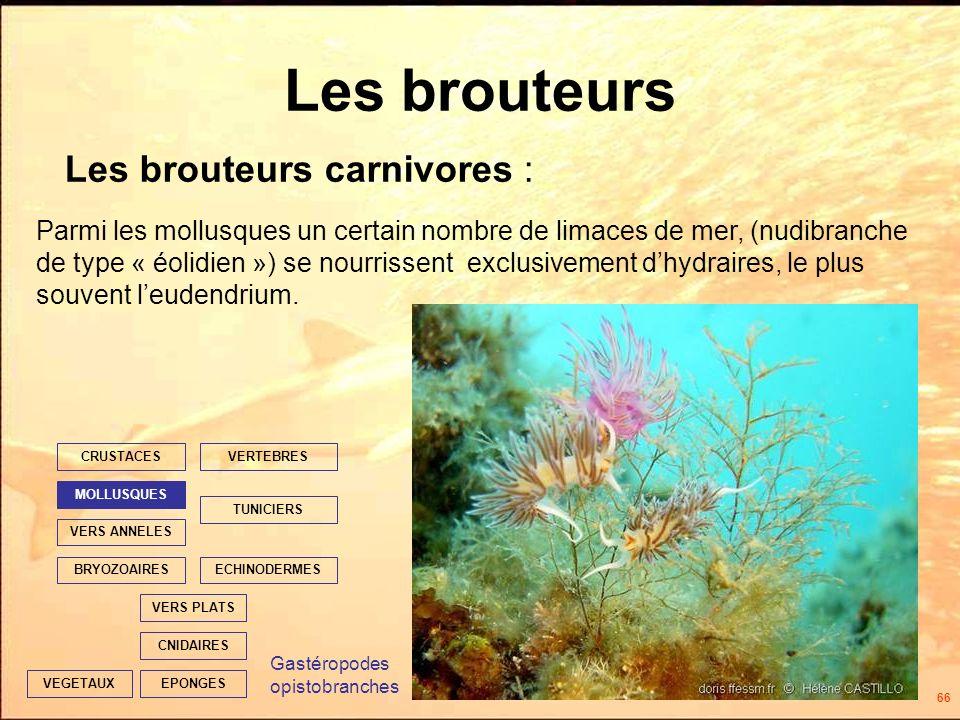66 Les brouteurs Les brouteurs carnivores : EPONGES CNIDAIRES VERS PLATS ECHINODERMES TUNICIERS VERTEBRES VERS ANNELES MOLLUSQUES CRUSTACES BRYOZOAIRES VEGETAUX Parmi les mollusques un certain nombre de limaces de mer, (nudibranche de type « éolidien ») se nourrissent exclusivement dhydraires, le plus souvent leudendrium.