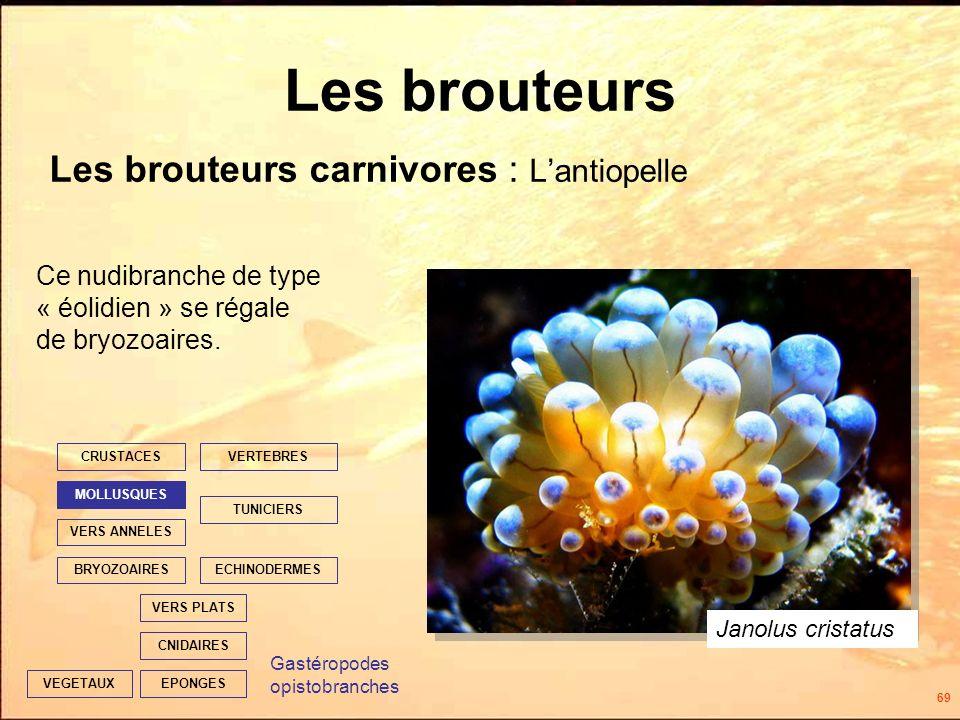 69 Les brouteurs Les brouteurs carnivores : Lantiopelle EPONGES CNIDAIRES VERS PLATS ECHINODERMES TUNICIERS VERTEBRES VERS ANNELES MOLLUSQUES CRUSTACES BRYOZOAIRES VEGETAUX Ce nudibranche de type « éolidien » se régale de bryozoaires.