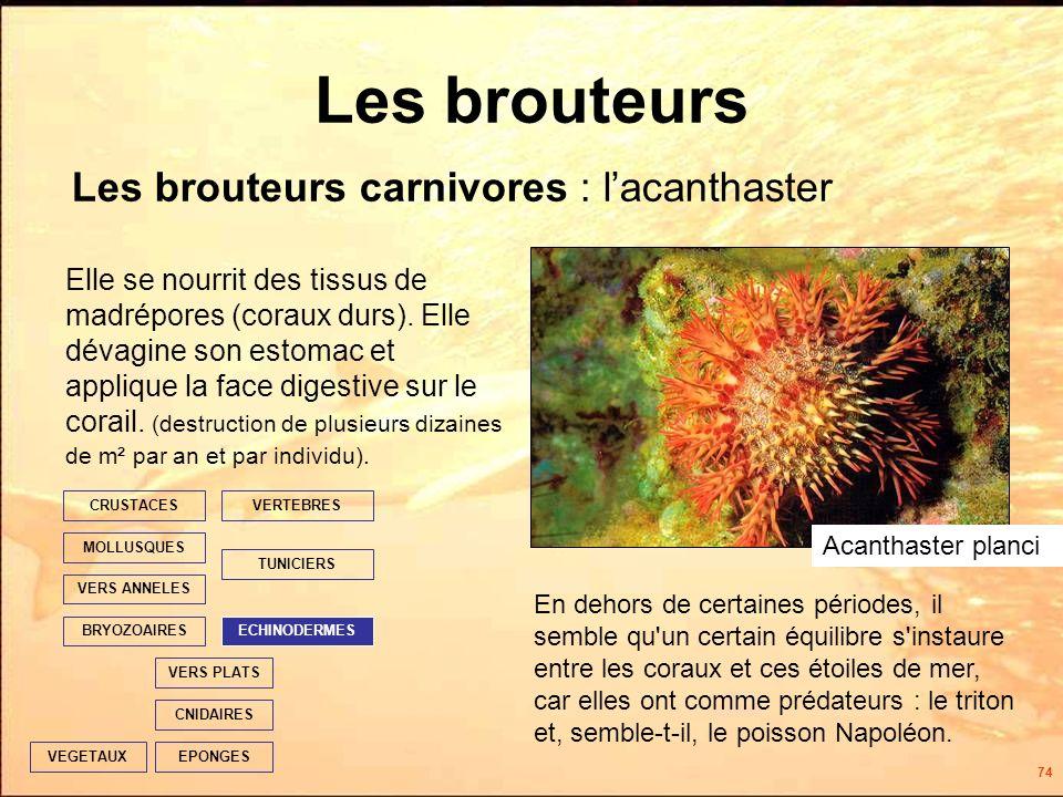 74 Les brouteurs EPONGES CNIDAIRES VERS PLATS ECHINODERMES TUNICIERS VERTEBRES VERS ANNELES MOLLUSQUES CRUSTACES BRYOZOAIRES VEGETAUX Elle se nourrit des tissus de madrépores (coraux durs).