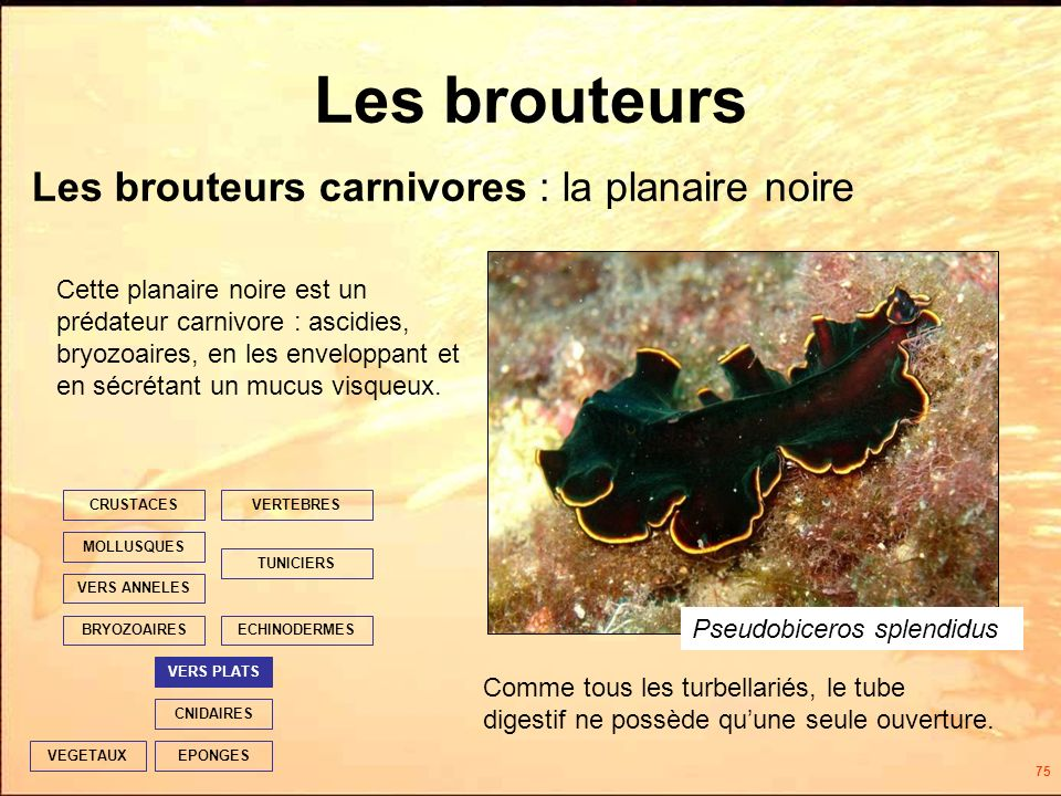 75 Les brouteurs EPONGES CNIDAIRES VERS PLATS ECHINODERMES TUNICIERS VERTEBRES VERS ANNELES MOLLUSQUES CRUSTACES BRYOZOAIRES VEGETAUX Cette planaire noire est un prédateur carnivore : ascidies, bryozoaires, en les enveloppant et en sécrétant un mucus visqueux.