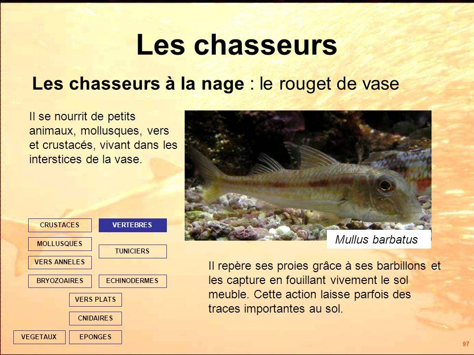 97 Les chasseurs Les chasseurs à la nage : le rouget de vase EPONGES CNIDAIRES VERS PLATS ECHINODERMES TUNICIERS VERTEBRES VERS ANNELES MOLLUSQUES CRUSTACES BRYOZOAIRES VEGETAUX Il se nourrit de petits animaux, mollusques, vers et crustacés, vivant dans les interstices de la vase.