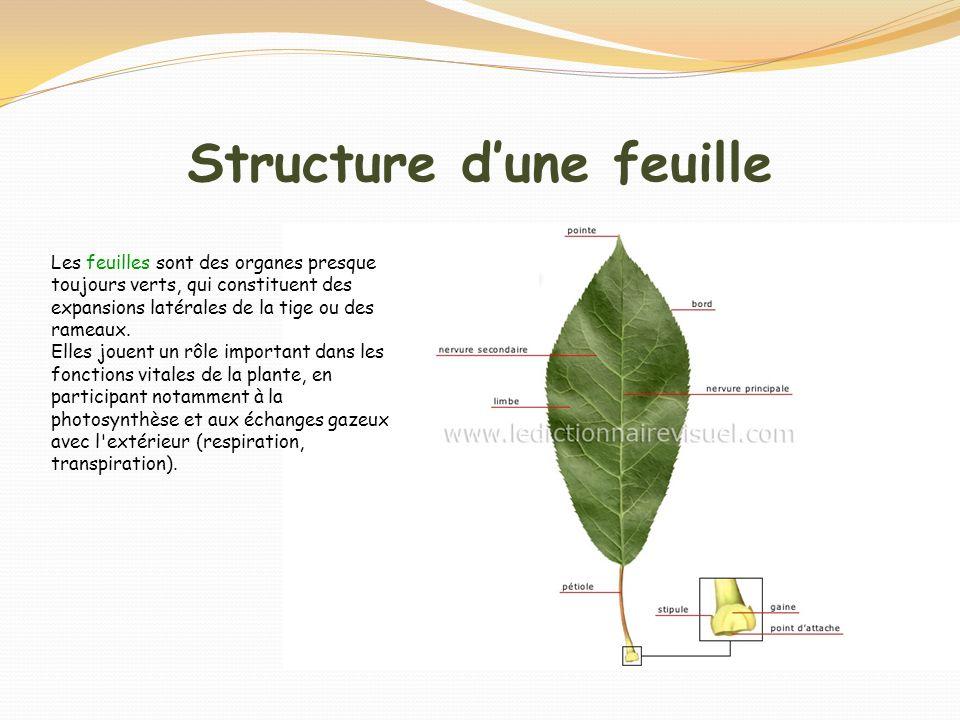 Structure dune feuille Les feuilles sont des organes presque toujours verts, qui constituent des expansions latérales de la tige ou des rameaux. Elles