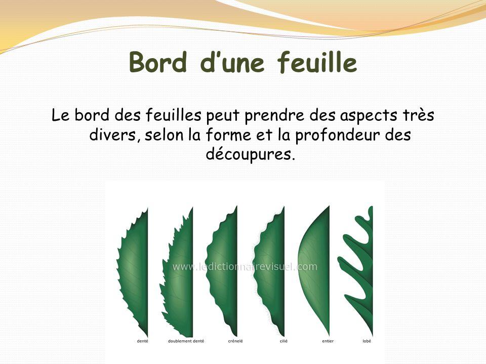 Bord dune feuille Le bord des feuilles peut prendre des aspects très divers, selon la forme et la profondeur des découpures.