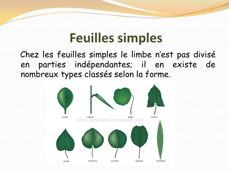 Feuilles simples Chez les feuilles simples le limbe nest pas divisé en parties indépendantes; il en existe de nombreux types classés selon la forme.