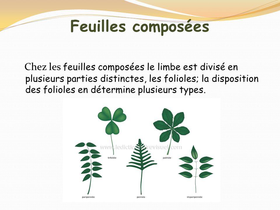 Feuilles composées Chez les feuilles composées le limbe est divisé en plusieurs parties distinctes, les folioles; la disposition des folioles en déter