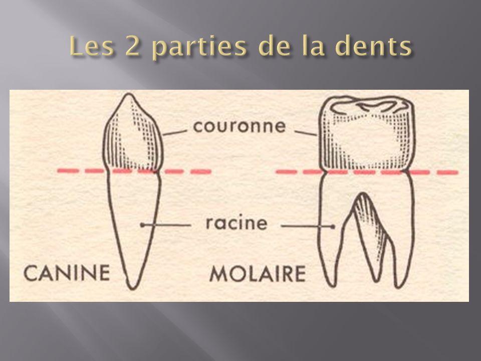 Les incisives sont les dents de devant.Il y en a 4 en haut et quatre en bas.