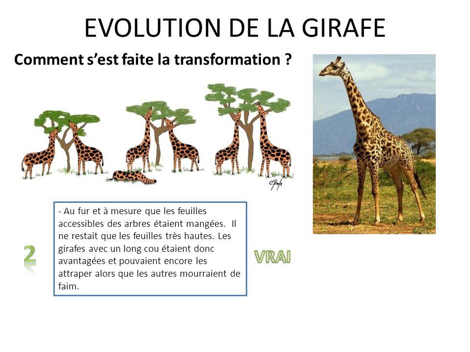 EVOLUTION DE LA GIRAFE Comment sest faite la transformation ? - A force de tirer sur leurs pattes et sur leur cou pour attraper les feuilles des arbre