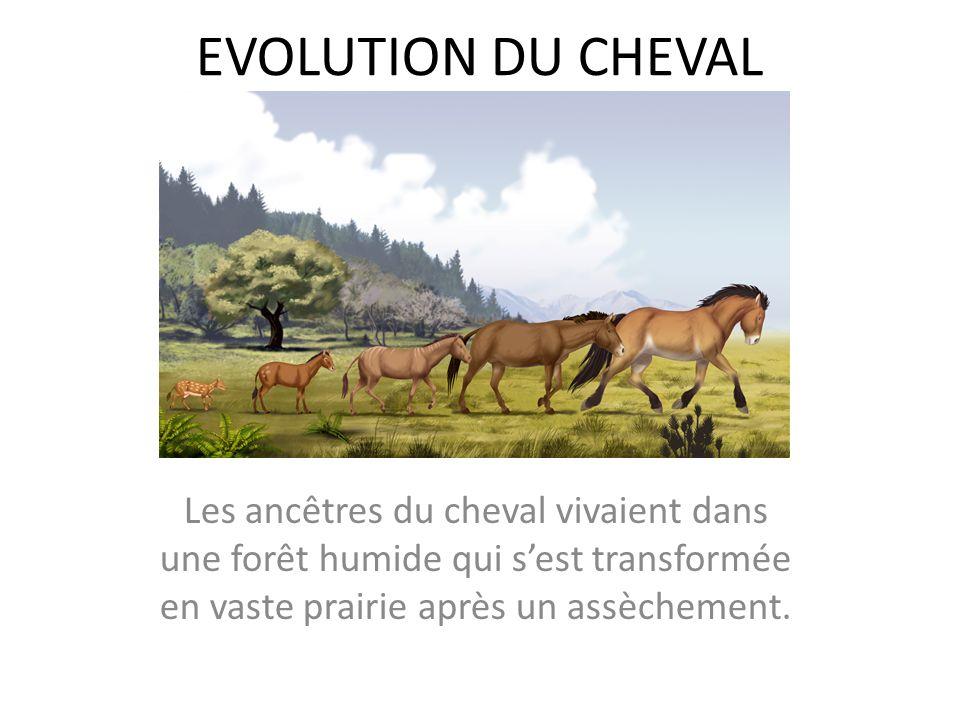 EVOLUTION DU CHEVAL Les ancêtres du cheval vivaient dans une forêt humide qui sest transformée en vaste prairie après un assèchement.