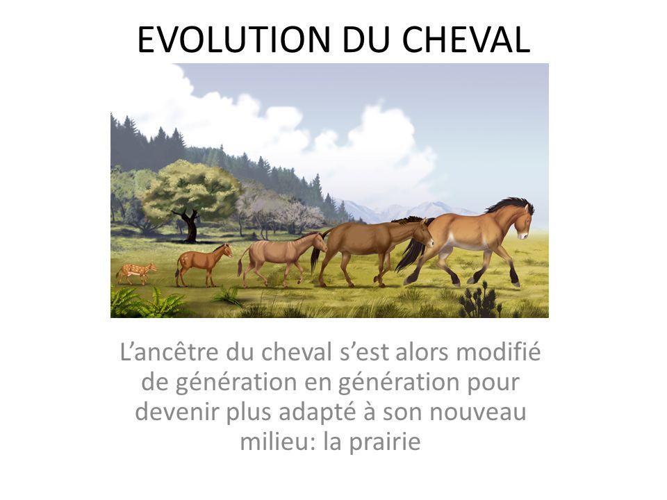 EVOLUTION DU CHEVAL Lancêtre du cheval sest alors modifié de génération en génération pour devenir plus adapté à son nouveau milieu: la prairie