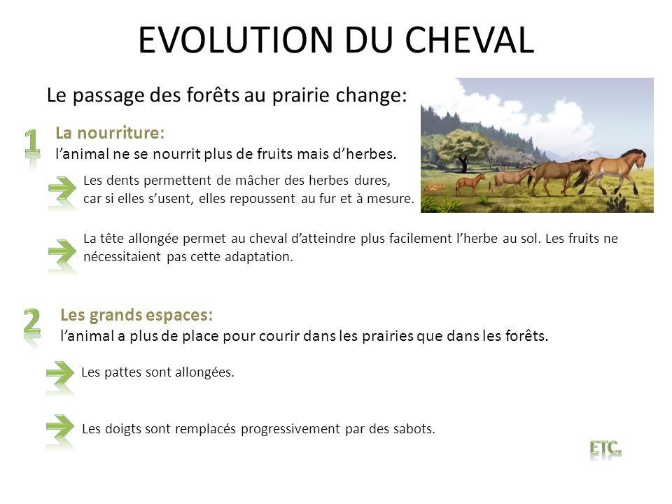 EVOLUTION DU CHEVAL Le passage des forêts au prairie change: La nourriture: lanimal ne se nourrit plus de fruits mais dherbes. Les dents permettent de