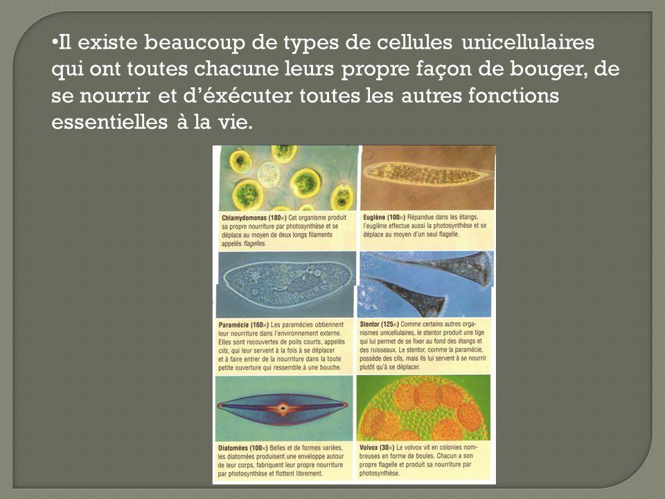 Il existe beaucoup de types de cellules unicellulaires qui ont toutes chacune leurs propre façon de bouger, de se nourrir et déxécuter toutes les autr