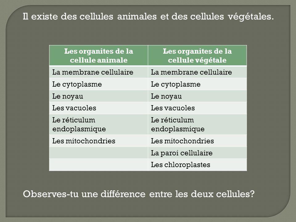 Il existe des cellules animales et des cellules végétales. Observes-tu une différence entre les deux cellules? Les organites de la cellule animale Les