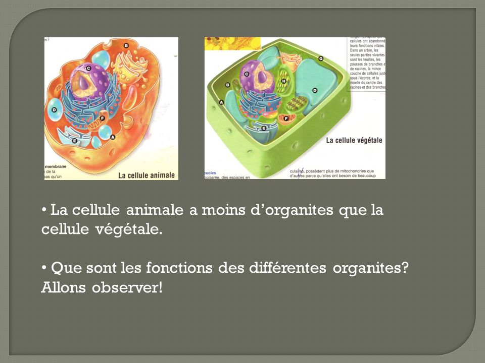 La cellule animale a moins dorganites que la cellule végétale. Que sont les fonctions des différentes organites? Allons observer!