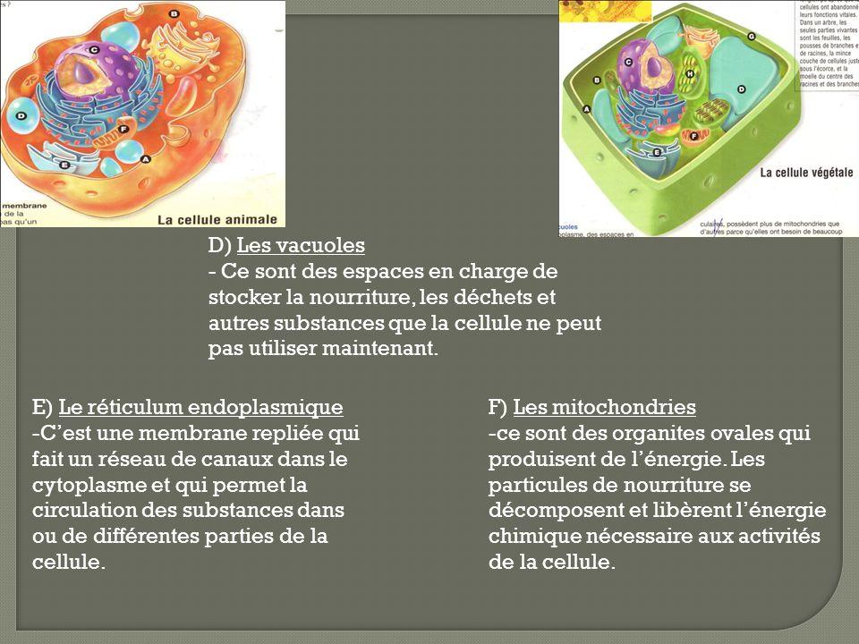 D) Les vacuoles - Ce sont des espaces en charge de stocker la nourriture, les déchets et autres substances que la cellule ne peut pas utiliser mainten