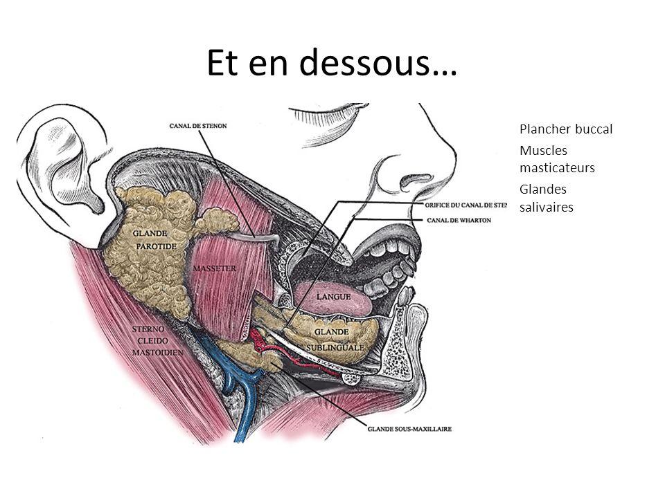 Et en dessous… Plancher buccal Muscles masticateurs Glandes salivaires
