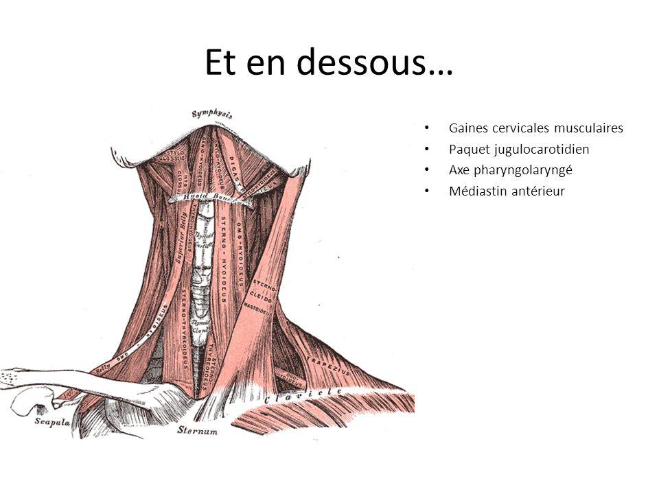 Et en dessous… Gaines cervicales musculaires Paquet jugulocarotidien Axe pharyngolaryngé Médiastin antérieur