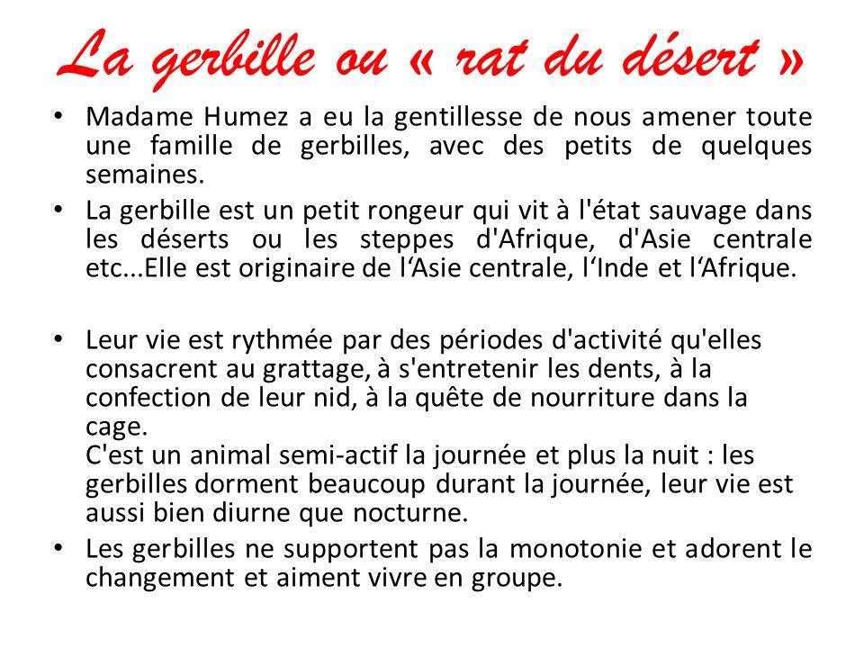 La gerbille ou « rat du désert » Madame Humez a eu la gentillesse de nous amener toute une famille de gerbilles, avec des petits de quelques semaines.