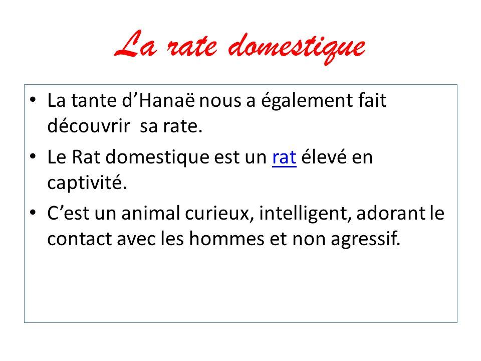 La rate domestique La tante dHanaë nous a également fait découvrir sa rate. Le Rat domestique est un rat élevé en captivité.rat Cest un animal curieux